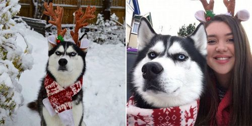Grumpy Husky's Hilarious Attempt at Christmas Card Photo-shoot