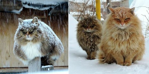 'Million' Siberian Cats Call Their Home on Farmer's Land