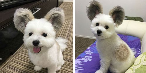 Meet Goma, Your New Favourite Fur Ball – the Mickey Mouse Dog