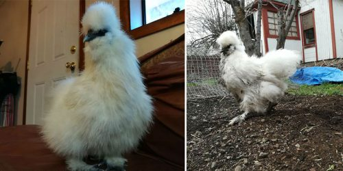 Marshmallow – Goofy Silkie Chicken Adventures