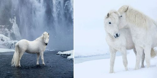 Horses Living under Extreme Weather in Magical Land of Iceland