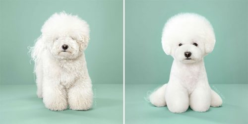 Adorable Dogs Before & After Japanese Grooming