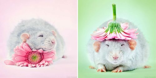 Adorable Pet Rats Photo-Shoot Breaks Their Negative Image by Diane Ozdamar