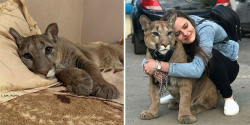 House Puma Lives in One-Bedroom Apartment and Walks the Streets with a Harness