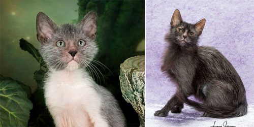 "Distinctive and Beautiful in Their Own Way ""Werewolf Cats"" Are Becoming Very Popular as Pets Across the World"