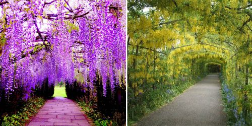 Flower-Covered Pathway – Japan's Magical Wisteria Tunnels – For Your Travel Inspiration