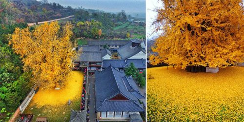 1,400-Year-Old Gingko Tree – Species Old 270 Million Years Still Live Today!