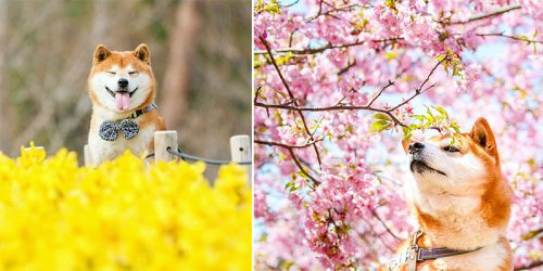 Blissful Adventures of Hachi the Shiba Inu in Japan's Colorful Flower Fields