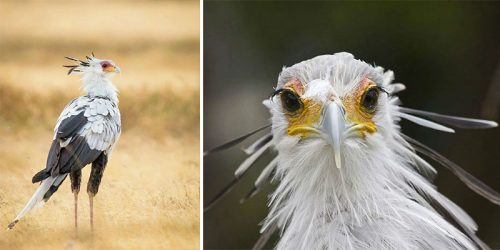 Secretary Bird – Fabulous and Deadly