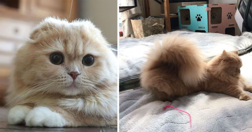 Cat with a Squirrel tail? Bell, the Napoleon Cat