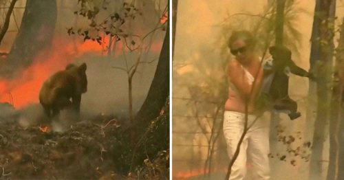 Hero Lady Saves Burnt Koala Screaming in Agony Surrounded by Devastating Bushfires in Australia