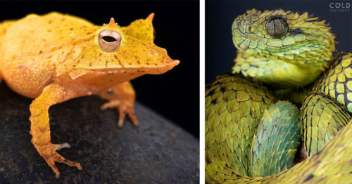 'Cold Instinct' by Matthijs Kuijpers – Stunning Reptiles and Amphibians