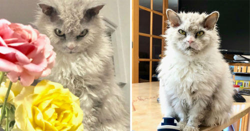 Pompous Albert – the World's Famous and Frowning Selkirk Rex