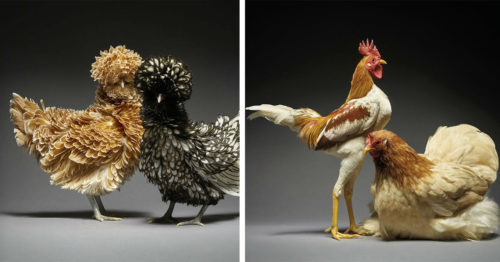 Can You Find Your Partner and Yourself in These Proffesional 'Chicken In Love' Portraits?