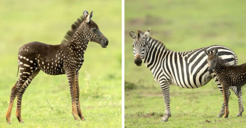 Zebra Born with Spots Instead of Stripes found in Kenya