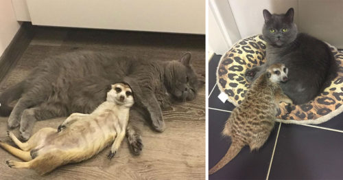 Meerkat and Chartreux BFF's Win the Internet Today