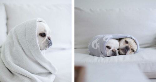 Is it a Burrito? No! It's a Pair of French Bulldogs – Theo & Cato