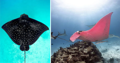 The Only One in the World – Pink Manta Ray – Photographed by Kristian Laine