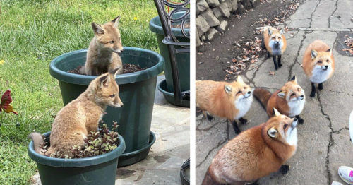 Celebrating Foxes and Their Playful Friendly Side