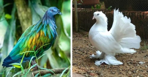 Pigeons Are Gorgeous – Types You Didn't Know Exist