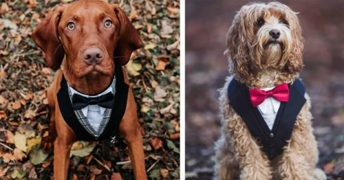 Designer Creates Lovely Wedding Suit Harnesses for Pets