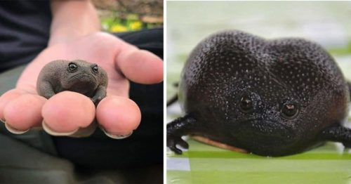 Black Rain Frogs aka the Grumpiest Frog Makes the Cutest Sounds You'll Ever Hear!