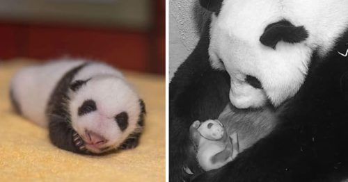Panda Cub and his Mommy are New Stars of the Smithsonian's National Zoo