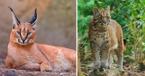 Rare and Majestic – 15 Wild Cat Breeds You Might Have Never Seen