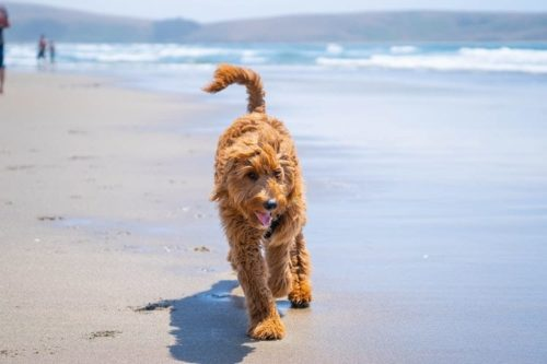 Goldendoodle Breeders in Nebraska