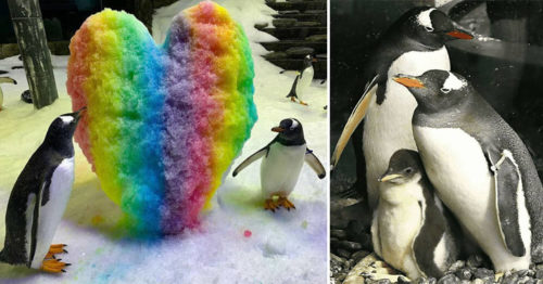 Attentive Gay Penguin Couple Fosters Neglected Egg for the Second Time
