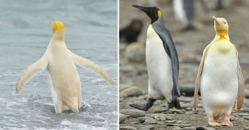 Yellow Penguin Photographed for the First Time Ever by Adam Yves